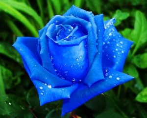 blue-roses6