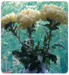 crizanteme1