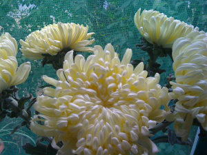 crizanteme2