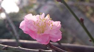 floare roz de primavara