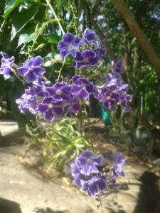 flori mov in natura