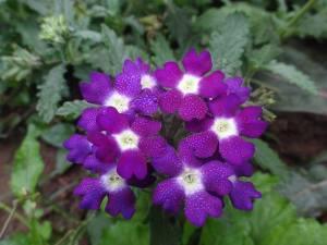 flori mov inchis
