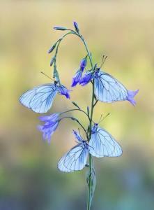 flori si fluturi