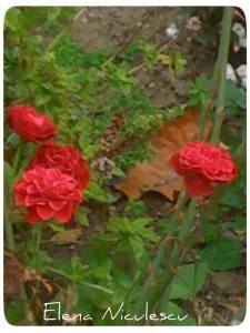 red-roses-nov